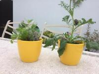 Two lovely yellow indoor plant pots