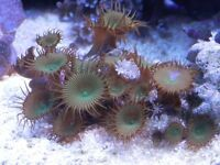 MARINE LIVE CORAL NUCLEAR GREEN PALYS APPROX 20 HEADS ON LIVE ROCK