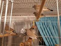 Beautiful family of zebra finches for sale