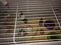 2 baby guinea pigs, cage and accessories for sale