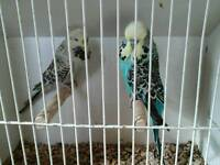Pair exhibition show budgies
