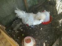 Pure Bred Polish bantie rooster white (hens/chickens/birds)