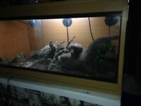Male leapord gecko for sale with 3ft solid wood vavairuim everything included