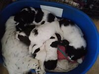 2 x male Speagle puppies for sale