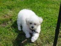 bichon frise girl puppy