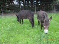 Two donkeys for sale