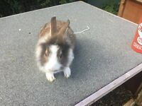 Baby rabbits for sale male and females ready now from £15 each upto £35 each see all pictures