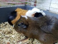 2 years old lovely guinea pigs (girl )for free.