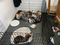 Staffy x Cocker spaniel puppies