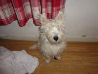 west highland puppy kc registered 9 months old