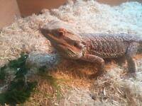 Male bearded dragon 2 years old