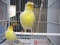 4 Canaries Plus Full breed cage £70. All male Singing.