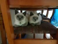 BSH Kittens