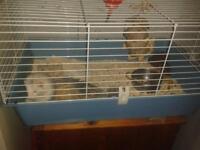 silver back ferret for sale