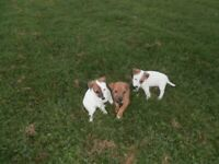 Jack Russell Parson Puppies