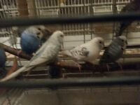 Budgies for sale, friendly and healthy birds