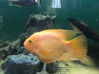 large Parrot fish 18cm 6/7 inch