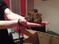 young baby guinea pigs -all well handled
