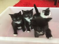 4 beautiful kittens looking for their forever home, 8 weeks old black/white striped kittens.