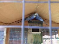 Budgies x 2 including indoor aviary/cage