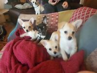 Chiuhahua puppies for sale
