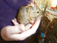 DEGUS FOR SALE AGED 8 MONTHS TO ADULTS AT £5.00 EACH