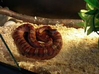 Corn snake (adult male) and full setup