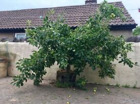 Apple Tree - FREE