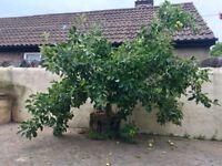 Apple Tree - FREE