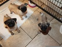 3 loving,friendly adorable pug puppies left