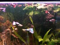15 Guppies for sale