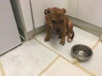 Mastiff famale puppy for sale
