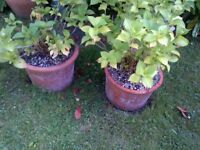 two Hortensia plants in pots