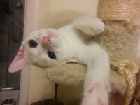 Beautiful pure white russian breed kittens ONE LEFT