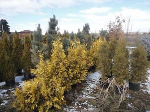 DaPontes Colorado Spruce - Tree Nursery London Ontario image 9