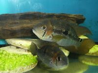 beautiful pair of yellow acaras, male 6 inches, female 4 inches