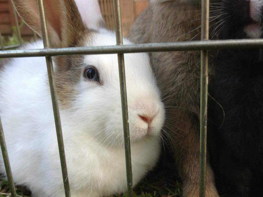 *FREE* Beautiful Healthy White/Brown Rabbit