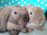 Pure bred baby mini lop rabbits