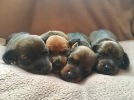 Smooth miniature Dachshund puppies for sale