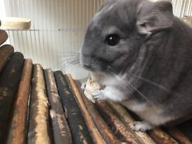 Year old male chinchilla with cage and all food and accessories for sale