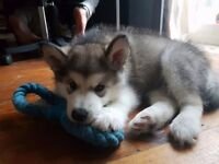 Female Alaskan malamute puppy for sale
