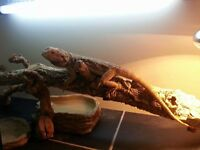 Two Female Bearded Dragons Plus 2 Full Set Ups For Sale