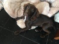 4 months old puppie Sprocker Spaniel