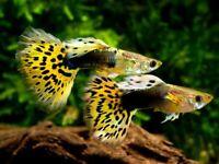 Guppy,platy,pleco,molly,goldfish,Betta,tetras,snails,cichlids mida/kribensis/ob Malawi,pacu