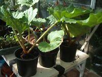 Rhubarb Plants - Ready Now