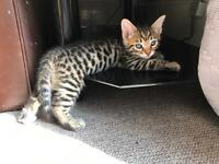 Pure breed bengal kittens