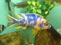 Fish malawi ob peacock 2.5 inch
