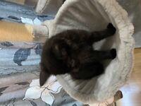 Black cute kittens