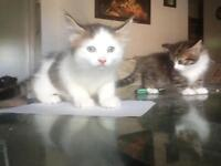 2 8week old kittens for sale