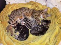 Bengal x cat kittens